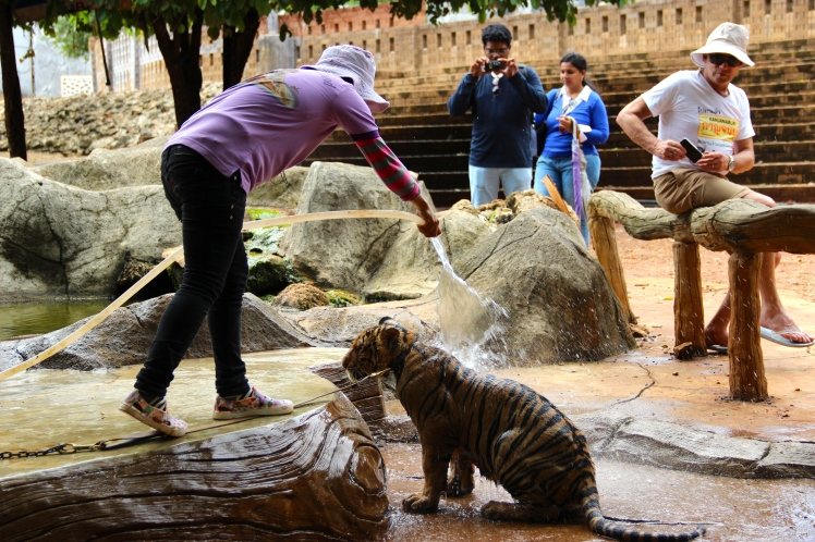 In a different part of the park, a baby tiger was being bathed.