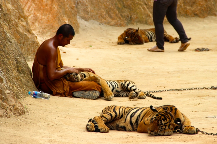 I saw this monk slightly playing with the tired tiger before he just held it while it napped.