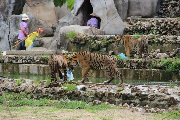 And in another part still, another set of tigers were having their play time. You can see the toys the humans were using in the back.